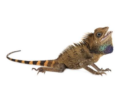 Agame - Gonocephalus bellii - Bell's anglehead lizard - Cette espèce est originaire de Thaïlande. Cette espèce se rencontre dans le sud de la Thaïlande, en Malaisie et au Kalimantan en Indonésie.