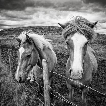 JMT_chevaux islandais
